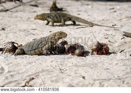 Cuban Rock Iguana (cyclura Nubila), Also Known As The Cuban Ground Iguana Or Cuban Iguana Together W