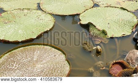 Floating Water Lilies In Pond. From Above Of Green Leaves Floating In Tranquil Water. Symbol Of Budd