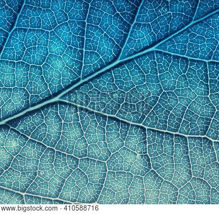 Leaf texture macro closeup. Leaves veins and grooves. Blue toned