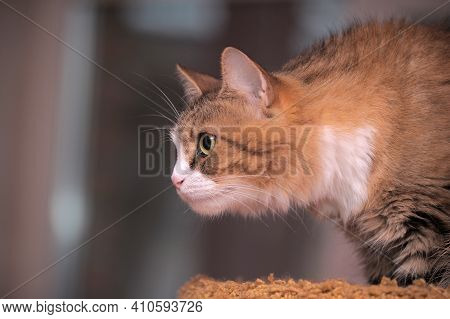 Beautiful Fluffy Brown And White Cat, Norwegian Forest Close Up