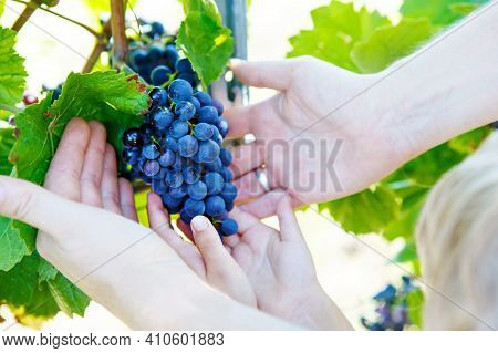 Kid And Adult, Hands Of Father And Son With Blue Grapes Ready To Harvest In An Established Winery. K