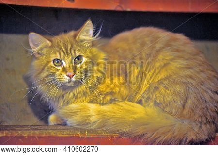 Fluffy Red Cat With A Fluffy Tail