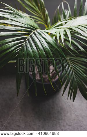 Close-up Of Palm Leaves From A Plants In Pots Indoor By The Window Shot At Shallow Depth Of Field