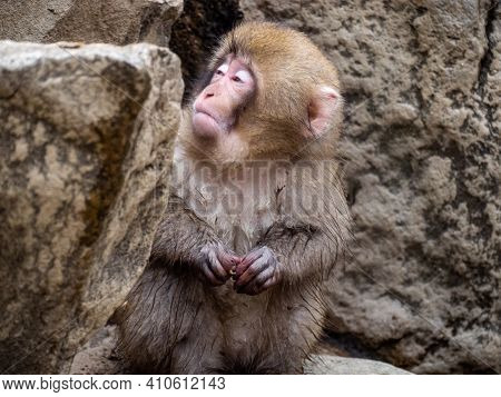 A Young Japanese Macaque Or Snow Monkey, Macaca Fuscata, Sits In The Rocks In Jigokudani Monkey Park