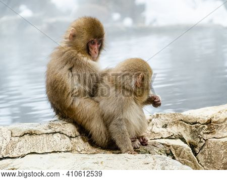 A Pair Of Young Japanese Macaques Or Snow Monkeys, Macaca Fuscata, Sit Together To Groom On The Rock