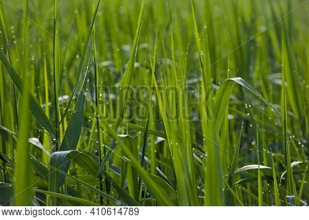 Luscious Green Grass. Drops Of Morning Dew On The Grass Close-up. Beautiful Green Nature Background.