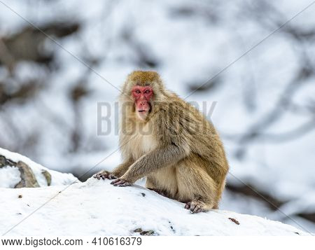 A Japanese Macaque Or Snow Monkey, Macaca Fuscata, Sits In The Snow While Foraging For Food Beside T