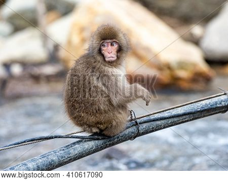 A Young Japanese Macaque Or Snow Monkey, Macaca Fuscata, Crosses The Yokoyu River On Utility Cables