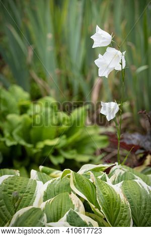 A Bush Of White Bell Flowers Grows On The Green Grass Of The Garden. Selective Focus. Delicate White