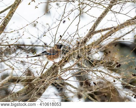 A Eurasian Jay, Garrulus Glandarius, Perches In A Tree Beside The Road From Jigokudani Monkey Park I