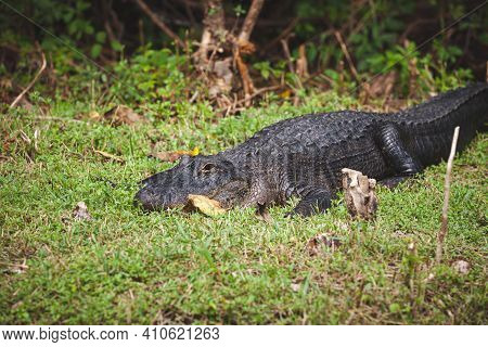 A Huge Aligator On The Lawn On A Warm Sunny Day In Everglades Park. Crocodile Waiting For Attack. Na