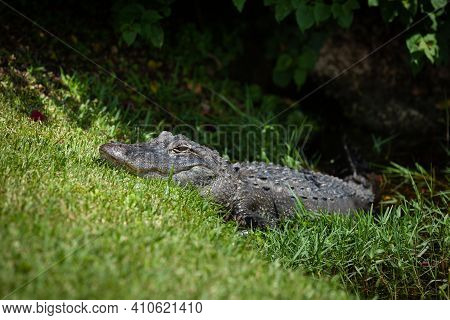 A Large Alligator On The Lawn Near The Pond In The Everglades Park. The Crocodile Calmly Climbs Out
