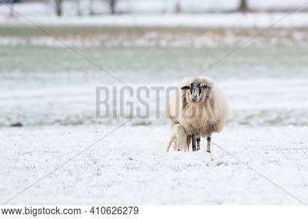 Sheep With Lamb In A Snowy Pasture. The Newborn Lamb Drinks Milk From The Mother. The Afterbirth Is