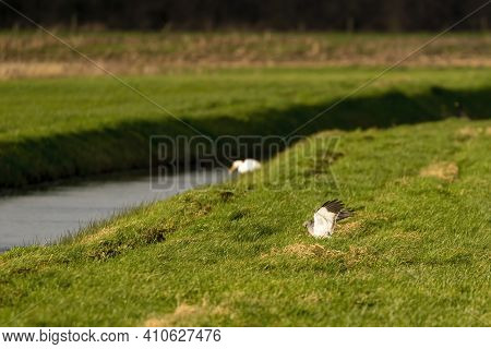 A Hawk Lands In The Grass Of A Beautiful Green Landscape. Out Of Focus A White Heron On The Waterfro