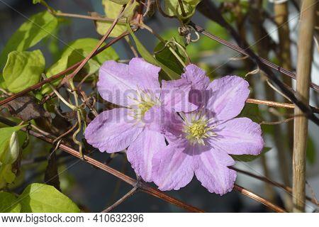 Clematis Comtesse De Bouchaud (late Large-flowered Clematis) - Latin Name - Clematis Comtesse De Bou