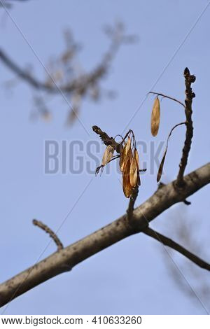 Narrow-leaved Ash Branches With Seeds Against Blue Sky - Latin Name - Fraxinus Angustifolia