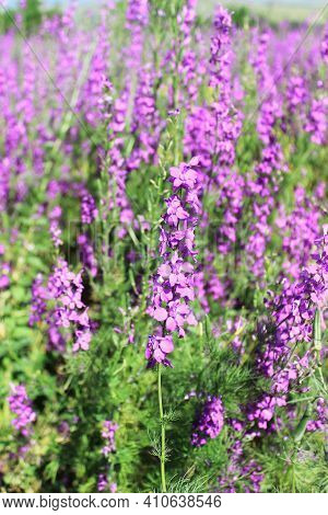 Rose Bay Willow Herb. Rosebay Willowherb, Chamerion Angustifolium, Onograceae , Downy Perennial With
