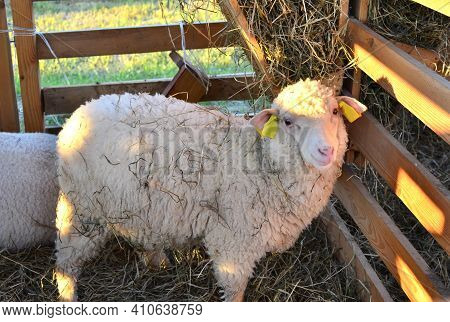 A Sheep An Enclosure Eating Hay On The Farm. Australian Ram And Sheeps. Concepts Of Agriculture. Sof