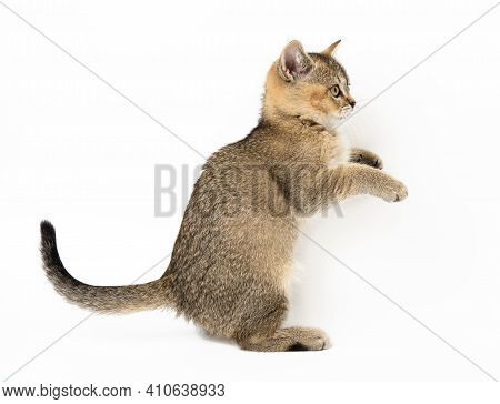 Kitten Golden Ticked Scottish Chinchilla Straigh, The Cat Is Standing Sideways With Its Front Paws R