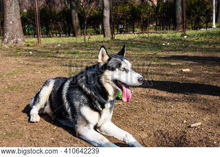 Funny Playful Husky Dog, Close Up In A Park. Beautiful Husky With Blue Eyes.