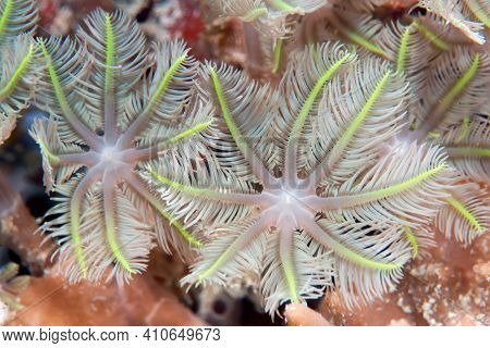 Soft Coral From The Family Xeniidae. Tentacles Close-up. Underwater Photography. Philippines