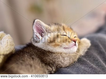 Small Kitten Of The British Chinchilla Breed. Little Kitten Sleeping. Babycat, Family Cats And Domes