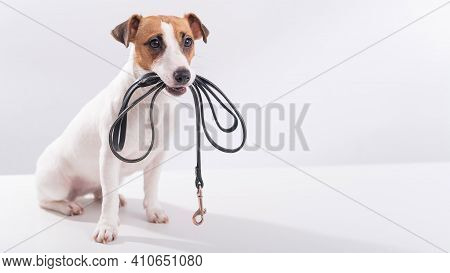 The Dog Holds A Leash In His Mouth On A White Background. Jack Russell Terrier Calls The Owner For A