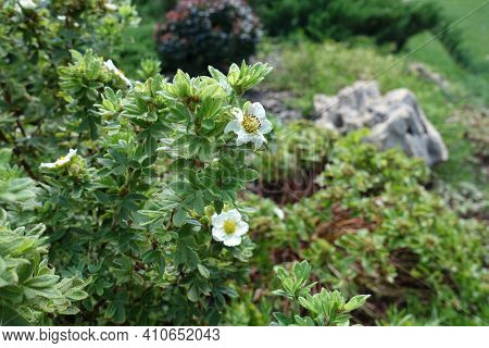 Pair Of White Flowers In The Leafage Of Dasiphora Fruticosa In July