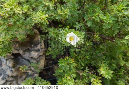 Single White Flower In The Leafage Of Dasiphora Fruticosa In July