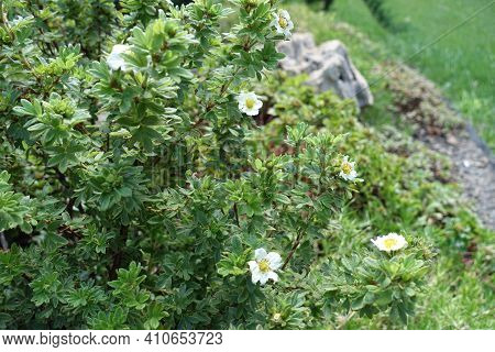 White Flowers In The Leafage Of Dasiphora Fruticosa In July