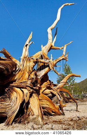Dead Bristlecone Pine