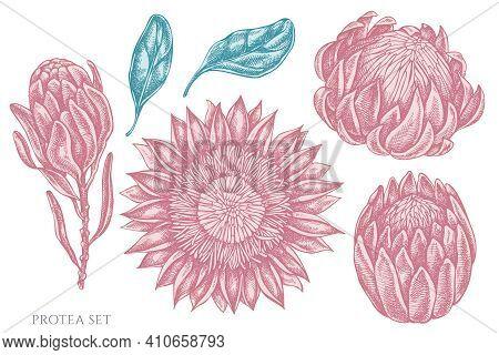 Vector Set Of Hand Drawn Pastel Protea Stock Illustration