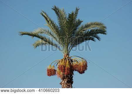 Tropical Palm With Date Fruits On Sky Background. Ripe Red Fruits Dates On Palm Tree. Vacation At Tr