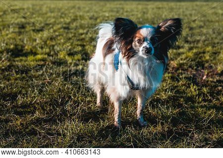 Papillon Dog In The Grass In A Large Field. Portrait Of A Brown And White Papillon Enjoying A Walk.