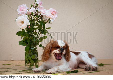 Puppy Breed Cavalier King Charles Spaniel, White-red Color, Next To A Bouquet Of Pink Roses, On A Ca