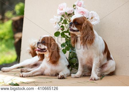 Two Dogs Of The Breed Cavalier King Charles Spaniel, Sit On A Cardboard Background With A Bouquet Of