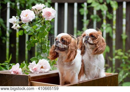 Two Puppies Of The Breed Cavalier King Charles Spaniel Sit In A Drawer Of The Dresser, With A Bouque
