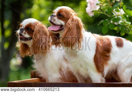 Two Puppies Of The Breed Cavalier King Charles Spaniel Stand In A Drawer Chest, In The Summer At The