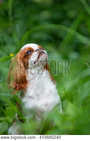 Puppy Breed Cavalier King Charles Spaniel, White-red Color, Summer Among The Grass Bullis His Head U