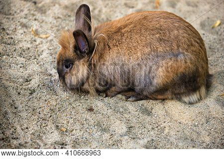 Full Body Of Smoky Grey-beige Domestic Pygmy Rabbit. Photography Of Lively Contryside.