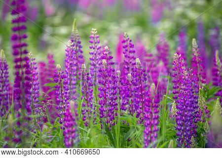 Beautiful Meadow With Blooming Wild Lupine And Herbs