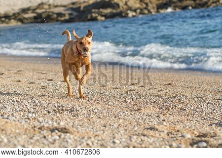 A Fit And Active Pet Labrador Retriever Dog Running Fast Along A Pebble Beach During A Game Of Fetch