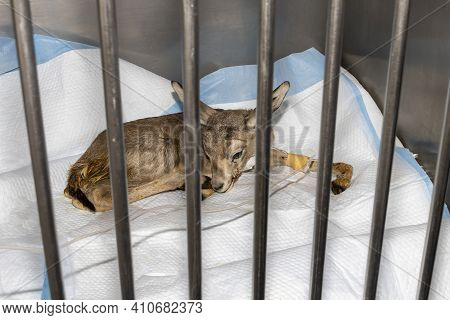 A Cute Baby Gazelle In A Cage At The Veterinarian Recieving Fluids Via Intravenous Therapy
