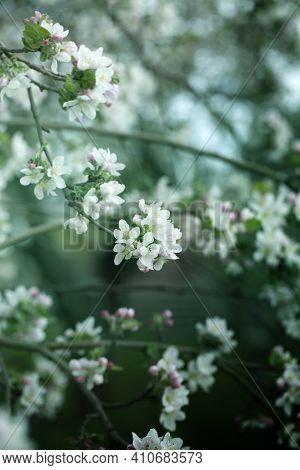 Background With Spring Apple Blossom. Blossoming Branch In Springtime Blooming Apple Tree In Spring