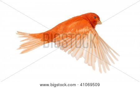 Red canary Serinus canaria, flying against white background