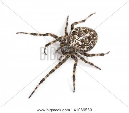 Top view of an European garden spider, Araneus diadematus, against white background