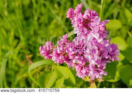 Purple Lilac With White Edges. Sensation Lilac. Beautiful Bunch Of Purple Flowers Closeup.blooming V