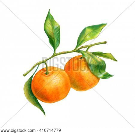 Two tangerines on a branch with leaves. WAtercolor and colored pencil illustration.