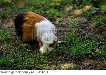 Close-up Of White-brown-black Hair Domestic Guinea Pig Cavy In The Garden. Lively Nature Of Countrys