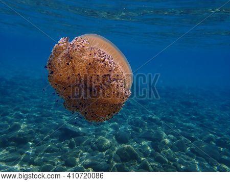 Mediterranean Jellyfish, Mediterranean Jelly Or Fried Egg Jellyfish (cotylorhiza Tuberculata) Underw